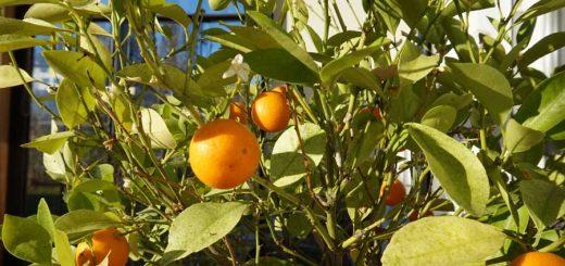 Orangen im Dezember